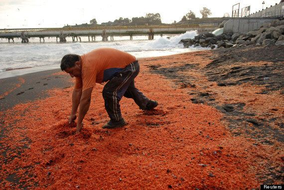 Thousands Of Prawns Wash Up On Chilean Beach, Experts Suspect 'Environmental Crime'