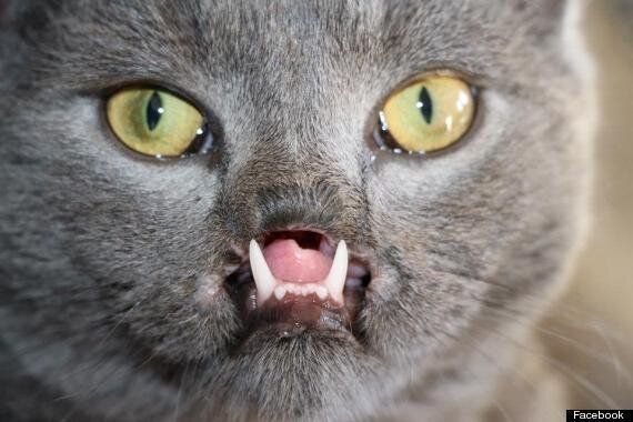 Lazarus, 'Vampire' Kitten With Cleft Palate To Train As Therapy Pet (PICTURES,
