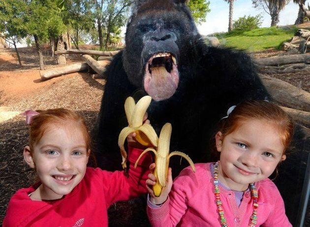 Gorilla Photobombs Two Youngsters at Werribee Open Range Zoo In Melbourne, Australia