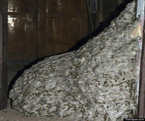 22ft Wasp Nest Found In Abandoned Home In Spain