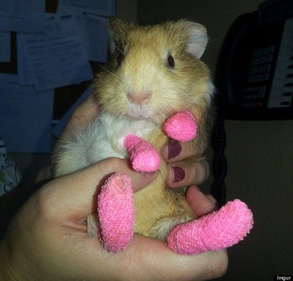 Guinea Pig Being Treated For Burns Sports Pink Bandaged Paws