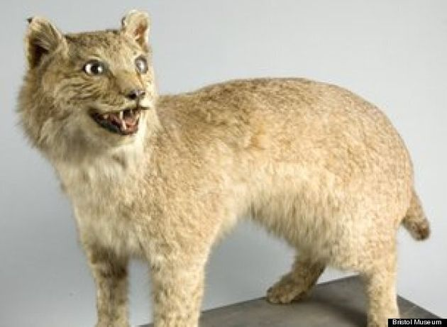 Big Cats In Britain: Canadian Lynx Prowled Devon Only A Century Ago, Museum