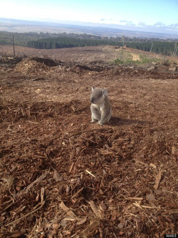 Lonely Koala Sadly Surveys His Former Home After Australian Forest Is Felled