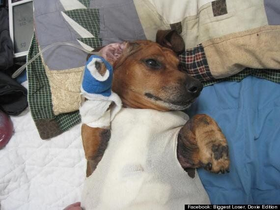 Obie The Obese Dachshund: Sausage Dog's Surgery To Remove Excess Skin After Losing 40lbs (PICTURES,