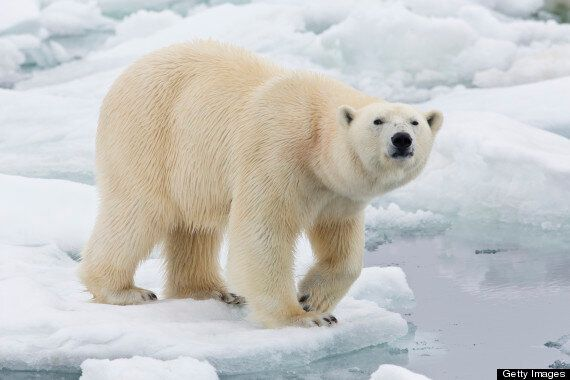 Polar Bear Bodyguard Wanted In Svalbard