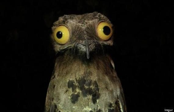 Is The Potoo The World's Funniest-Looking Bird?
