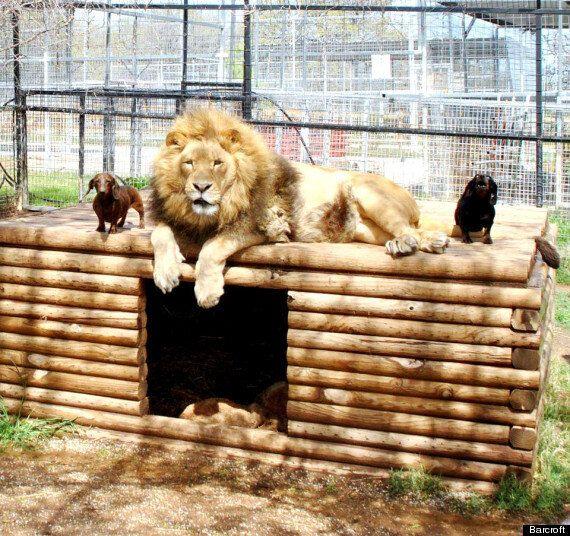 Miniature Dachshund Milo & Bonedigger The Lion Are Best Friends