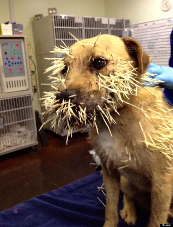 Dog Survives Porcupine Attack: Weird News Picture Of The