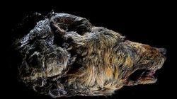 시베리아에서 황소만한 고대 늑대 얼굴이