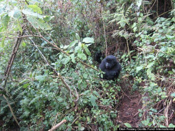 Gorillas Seen Destroying Poachers' Snares In