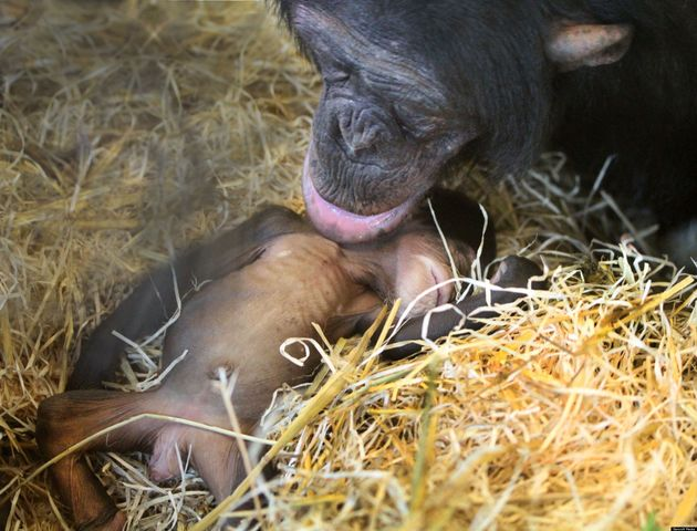Baby Chimpanzee Ajabus Found Dead In Bereaved Mother's Arms At Artis