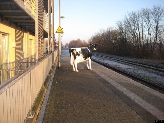 Fake Cow Left At German Railway Station By Pranksters