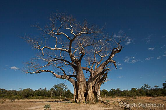 A Passion For Baobabs And