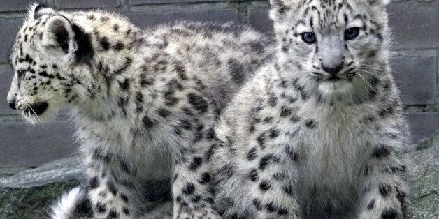 Five Ways That WWF Is Creating Coexistence Between Snow Leopards And