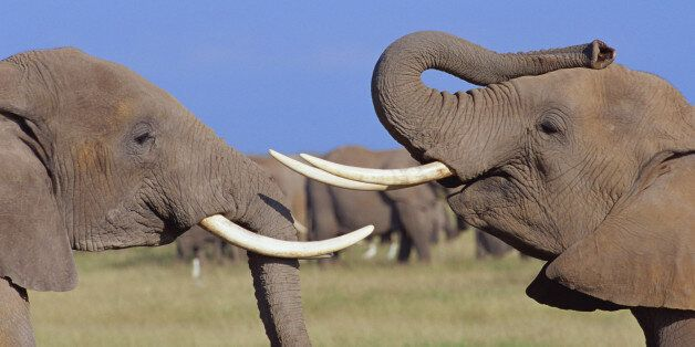 The Government Must Take Opportunity To Close Ivory