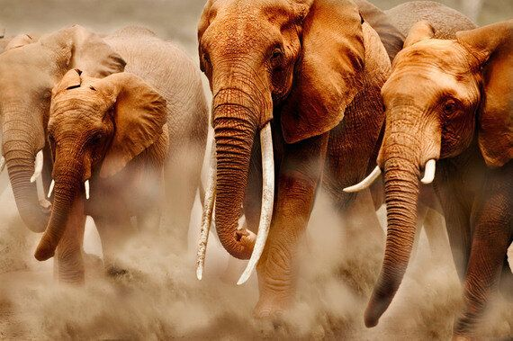 An African Elephant Killed Every 25 Minutes - Why The UK Must Shut Down Its Ivory