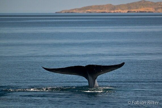 Whale Poo Takes Stage At International Whaling Commission Big
