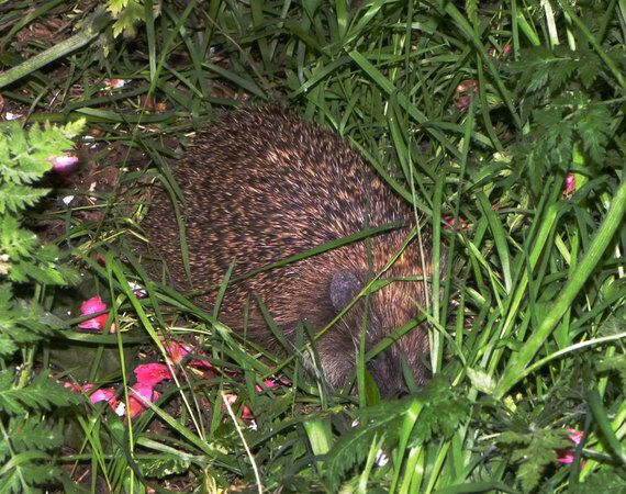 HS2 To Claim Central London's Last Hedgehog Stronghold Thanks To House Of Lords