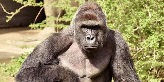 Will Harambe's Death Be The Tipping