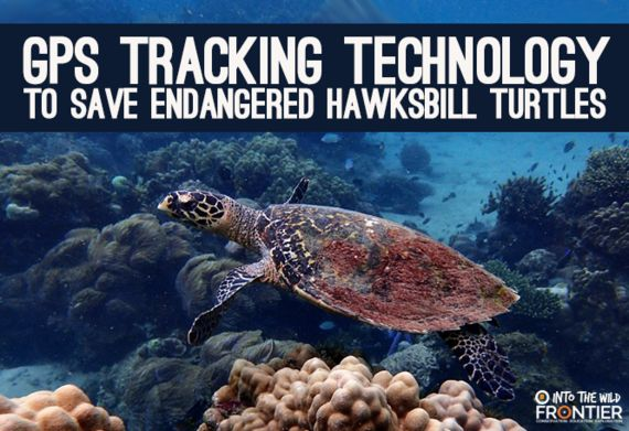 GPS Tracking Technology To Save Endangered Hawksbill