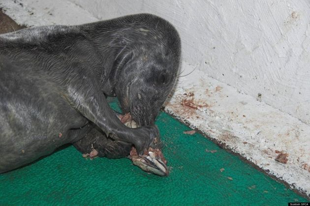 Baby Seal On St Andrews Beach Rescued From Freezing Scottish