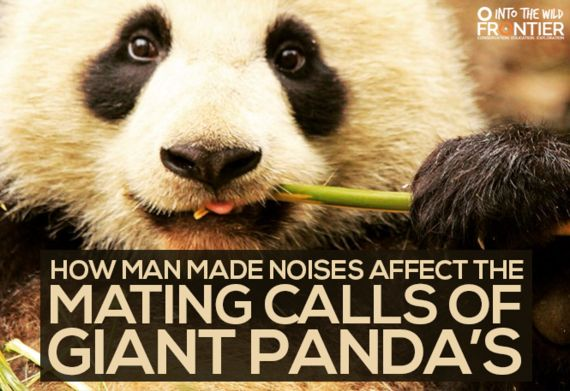 How Man Made Noises Affect The Mating Calls Of Giant