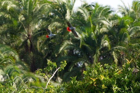 Fighting The Grey Parrot