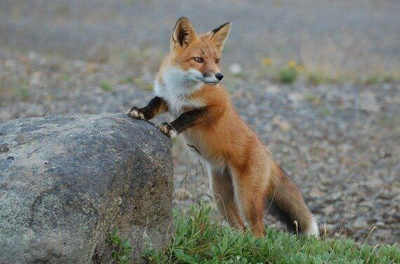 Fox Hunting Is Cruel and Ineffective: Let's Not Legalise