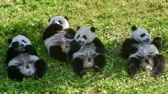 TOPSHOT - This photo taken on June 13, 2019 shows panda cubs eating in the Shenshuping panda base of the Wolong National Nature Reserve in Wenchuan, China's southwestern Sichuan province. - Born to a wild father and captive mother, nearly one-year-old twin pandas roll on the grass in a conservation base in southwest China, marking an important achievement in the preservation of the country's beloved animal. (Photo by STR / AFP) / China OUT        (Photo credit should read STR/AFP/Getty Images)