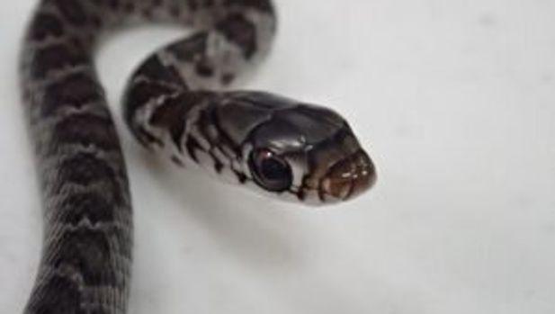 snake hawaii plane