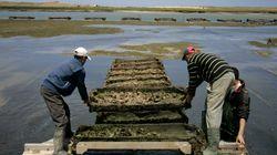 L'huître célébrée à El Jadida, berceau de l'ostréiculture
