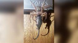 Τεράστια αράχνη καταβρόχθισε ολόκληρο οπόσουμ στην