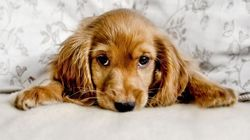 Πώς τα σκυλιά χρησιμοποιούν τα μάτια τους για να χειραγωγούν τους