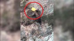 L'orso resta incastrato con la testa nel secchio. Il salvataggio dura 4