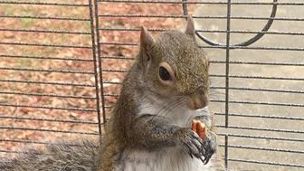 attack squirrel fed meth to keep it aggressive
