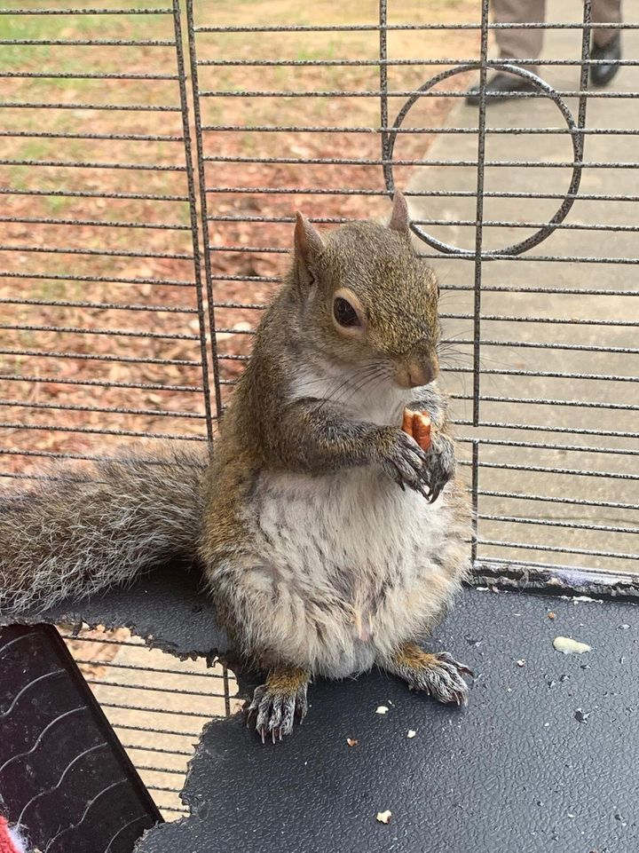 This is the so-called attack squirrel Limestone County sheriff's deputies seized in a drug raid Monday.