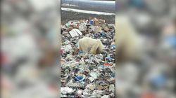 Deperito e stremato: dopo 40 anni un orso polare è stato avvistato mentre rovistava tra i rifiuti in