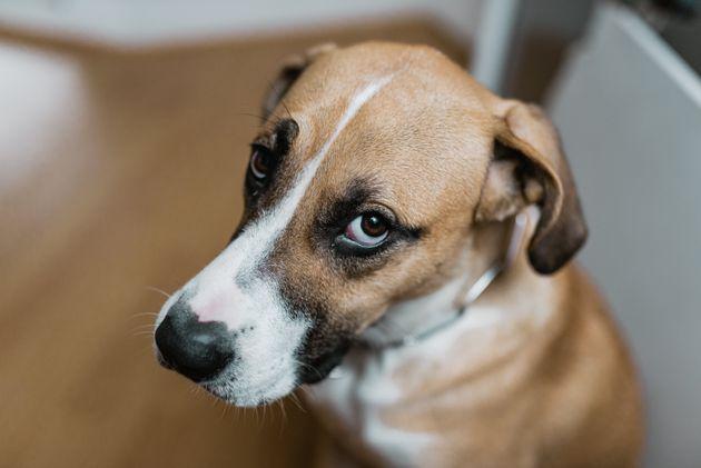 Lo  sguardo da cucciolo  dei cani è frutto della convivenza con l' uomo