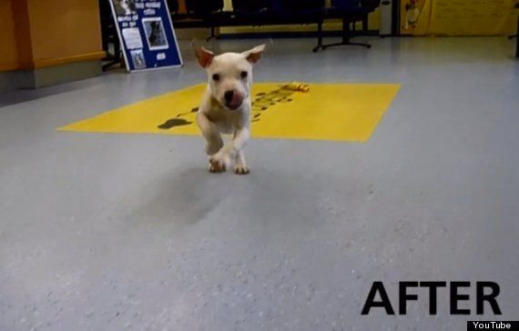Wonky Recovers! Abandoned Puppy Is Back On Her Feet Thanks To Physio & Love (VIDEO,