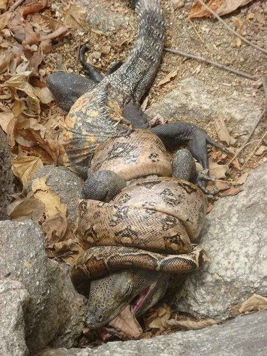 Boa Constrictor And Iguana Locked In Fatal Embrace