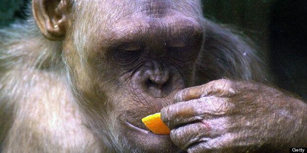 A chimpanzee at Twycross