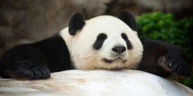 Giant Pandas: The Debate Over Their Survival