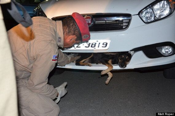 Dog Travels 55 Miles Dangling From Car Bumper And Survives