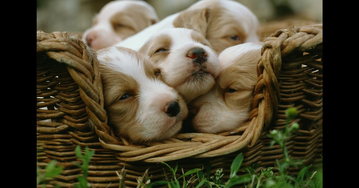 Dogs Evolved To Look Like Cute Babies Claims Study Huffpost Uk