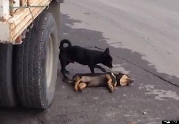 Dog Desperately Tries To Revive Companion Hit By Car