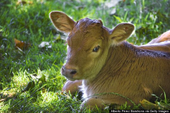 Halal & Kosher Slaughter Banned In Denmark As Minister Insists 'Animal Rights Come Before