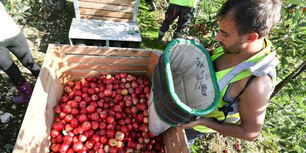 A fruit picker unloads a sack of royal gala apples into a crate at AC Goatham & Sons' orchard in Upchurch,...