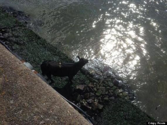 Cow Stranded In Aberdeen Harbour Is Shot Dead After Rescue Fails