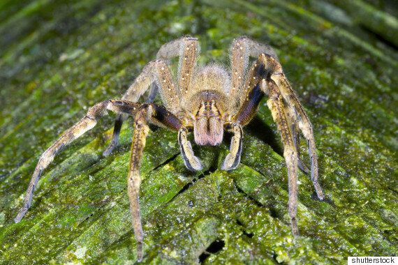 Brazilian Wandering Spiders Found In Tesco Bananas May Cause Painful Four Hour