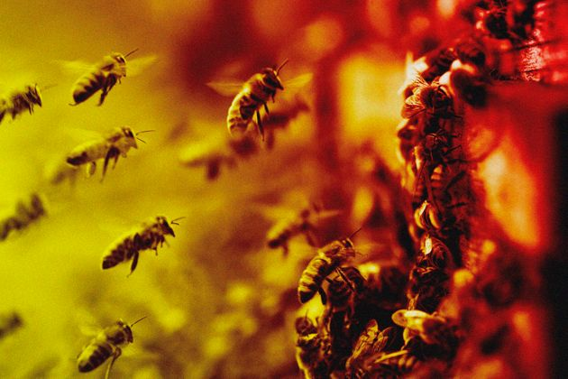 Every year, the almond industry expands while the population of honeybees struggles to keep